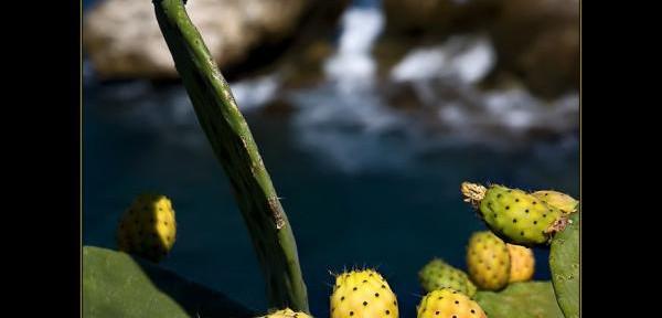 fichi-dindia-sul-mare-2009.jpg